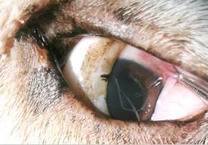 フィラリア症の目のイメージ